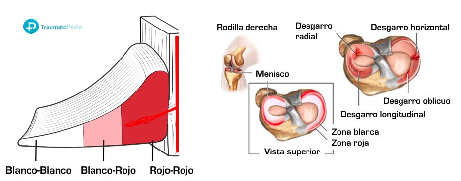 zonas vascularización menisco